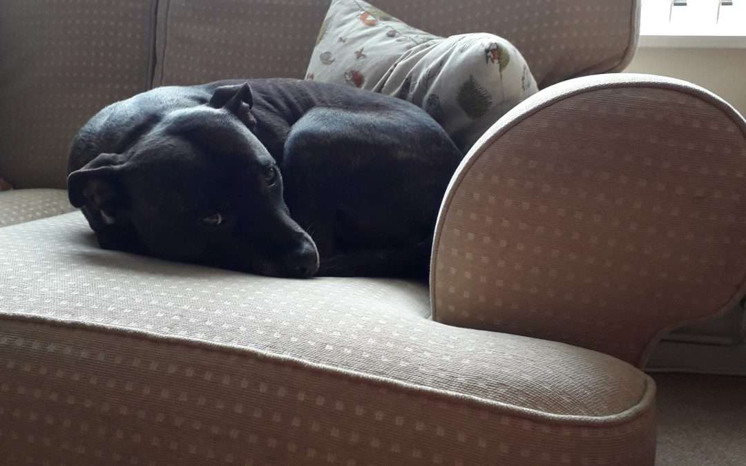 Case Study: Effie the Staffie experiencing a Canine Flow session to calm her